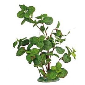 Plant Cardamine 30Cm