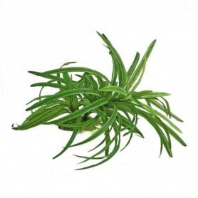 Plant Dracena 25Cm